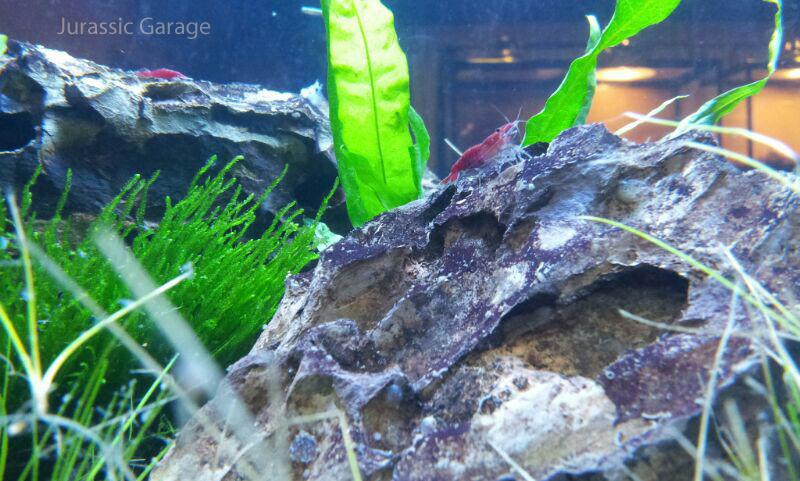 shrimp-tank