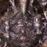 Mr.Grumpy the Alligator snapping turtle