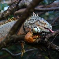 Ziggy the iguana licking raindrops on tree branch
