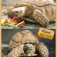 Ajani the African tortoise