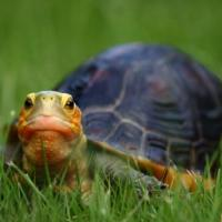 Ming the Chinese box turtle