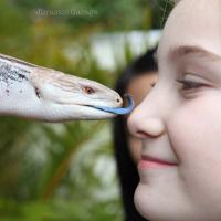 Blue tongue lizard licks girl